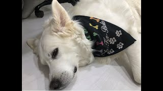 The life of Solo Great Pyrenees mountain dog we saw Santa made personal bandana designed 4 house dog