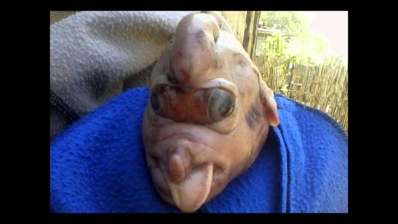 zoofilia Nace cerdo deforme en Tucuman , ¿malformacion de un cerdo o zoofilia?