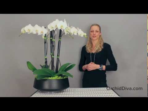 GRANDIOSO - Orchid Arrangement by Orchid Diva - New York City