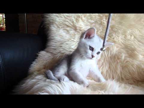 Miamber Burmilla Kitten