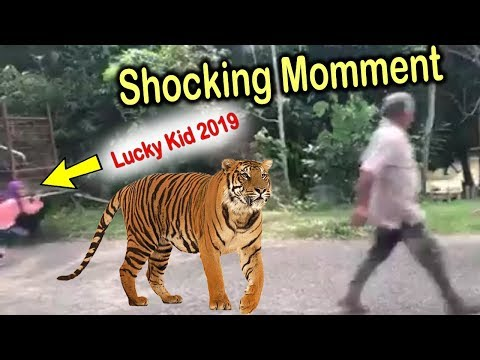 Viral Wild Tiger Appear ( FRONT KIDS ) Croosing the Public ROAD In Malaysia - better RUN