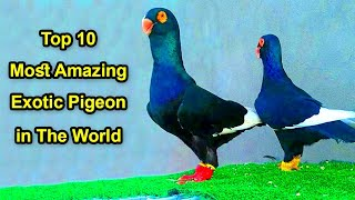 10 most amazing exotic pigeon in the world | best fancy pigeon