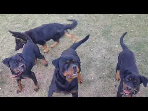 Rottweilers playing time jaipur rajasthan