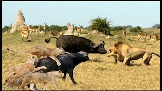 Discovery Wild Animal Fights | 2 Buffalo vs 10 Lion, Hyena & Wild dogs attacks Deer - Baboon,tig