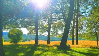 Calming Summer Ambience in the Forest ☯ August Sunny Day 🌳 Beautiful Forest Sounds & Birds Singing