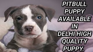 Top Quality Pitbull puppy for sale in Delhi at cheap price (whole sale price) / Dogs Planet