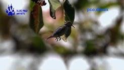 Bee Hummingbird / Bienenelfe