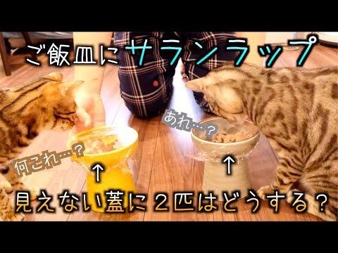 【ドッキリ】ご飯の皿に見えない蓋があったら猫たちはどんな反応をするの?