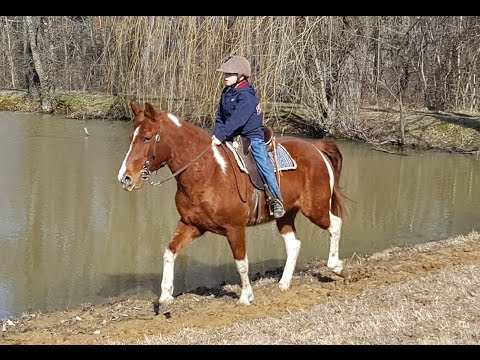 "SOLD ""Dixie"" 7yr 14.2h Red White Spot Tennessee Walking Horse Begin Broke"