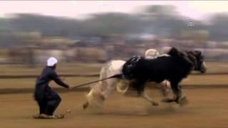 Bull Race in Pakistan