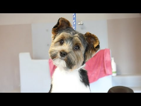 PetGroooming - Yorkshire Terrier Biever on Grooming Table