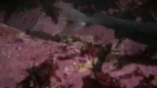 Giant Octopus Eats Sharks At Aquarium