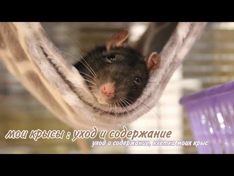 🐾МОИ КРЫСЫ || УХОД И СОДЕРЖАНИЕ ДЕКОРАТИВНЫХ КРЫС🐀 || Что должно быть в клетке у крыс?🌾