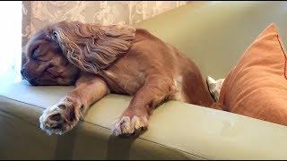 Cavalier King Charles Spaniel Goes To Sleep