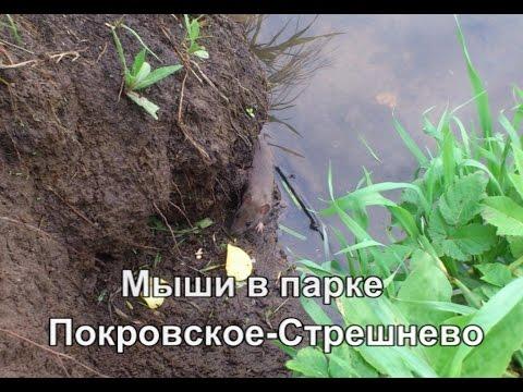 Мыши в парке Покровское-Стрешнево (Mouce In Park Pokrovskoe-Streshnevo)