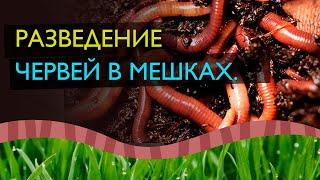 #экочервь Разведение червей в мешках. Дендробена венета. Дождевые черви. Вермикомпост.Биогумус