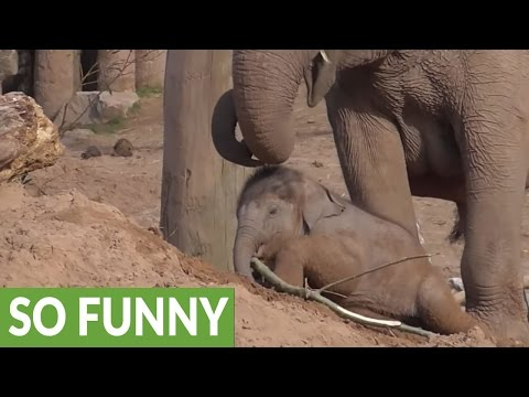 Baby elephant gets itself stuck in the sand
