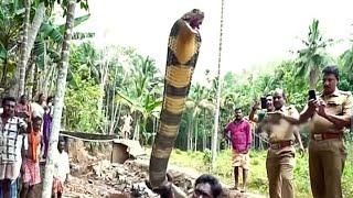 Gambar cover King Cobra Sanek