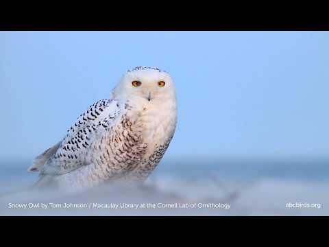 Snowy Owl | American Bird Conservancy