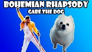 Gabe the dog - Bohemian Rhapsody