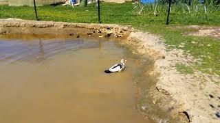 Индоутки//Можно ли утятам купаться?