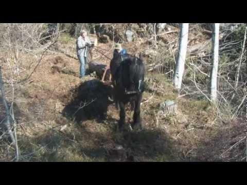 Tømmerkjøring på Hisøy, Prinsen drar furutømmer opp av en tørrlagt myr.