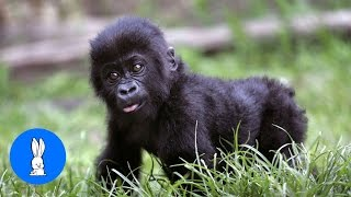 Baby Gorillas Being Naughty - Cutest Compilation