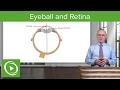 Eyeball and Retina – Brain & Nervous System   Lecturio