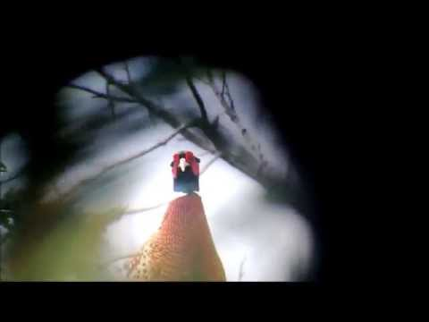 Kula Pheasant -- Maui, Hawaii