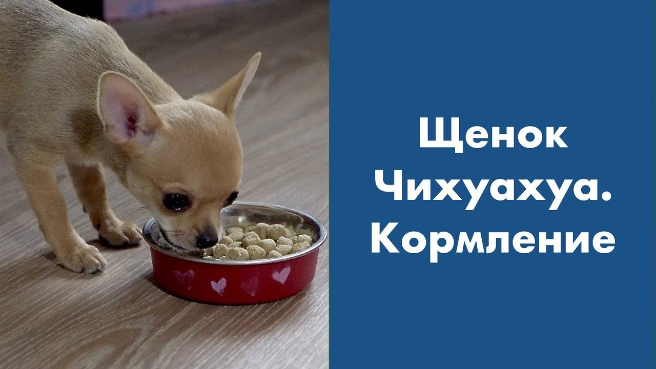 каким кормом кормить чихуа
