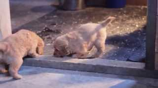 Akc Golden Retriever Puppies Exploring