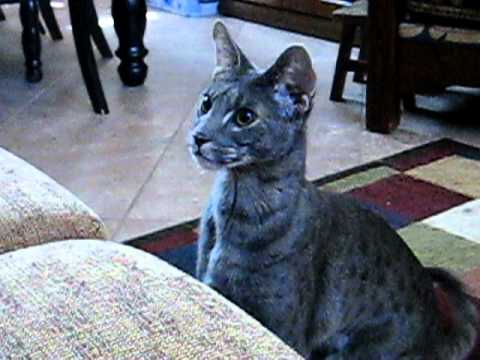 Thumbnail for Cat Video My F2 Blue Savannah male cat, Kenken is just like a dog
