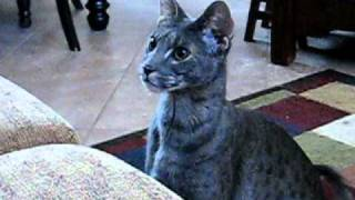 My F2 Blue Savannah male cat, Kenken is just like a dog