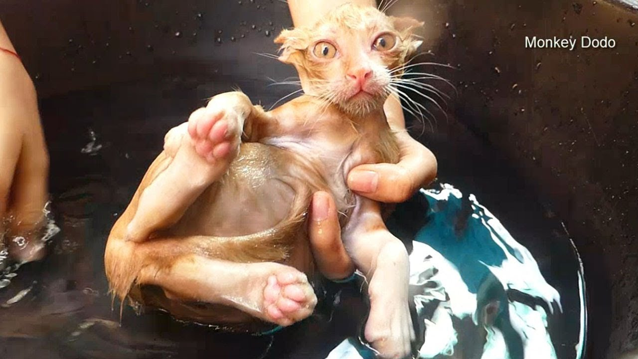 First Bath For Poor Orphan Kitten, Welcome New Member Of Happily Family