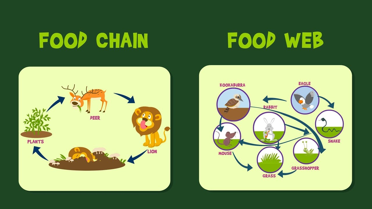 Food Chain | Food Web | Video for Kids - YouTube