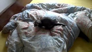 Харяк и Кусака резвятся на постели