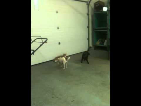It's a cat chase dog world