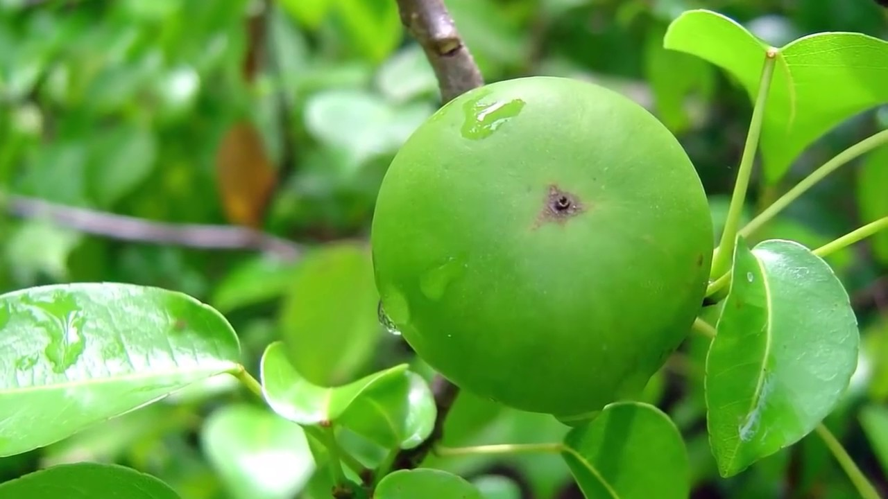 Part Ii More Fruit Of Poisonous Tree >> द न य क सबस जहर ल प ड World Most Poisonous Tree The Manchineel Tree In Hindi