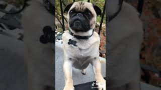 Pug Doesn't Dig Zoom 2020