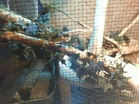 DIY Chinese Water Dragon Habitat: Requested Video (Starring Yuki, Kyo, & Haru)