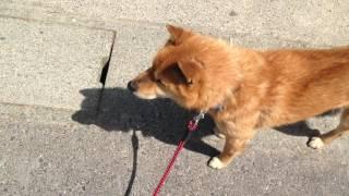 散歩だと思ってたら、注射だとだんだん気付いた時の犬【おもしろ犬動画】 A dog noticing it is an injection in the middle of a walk