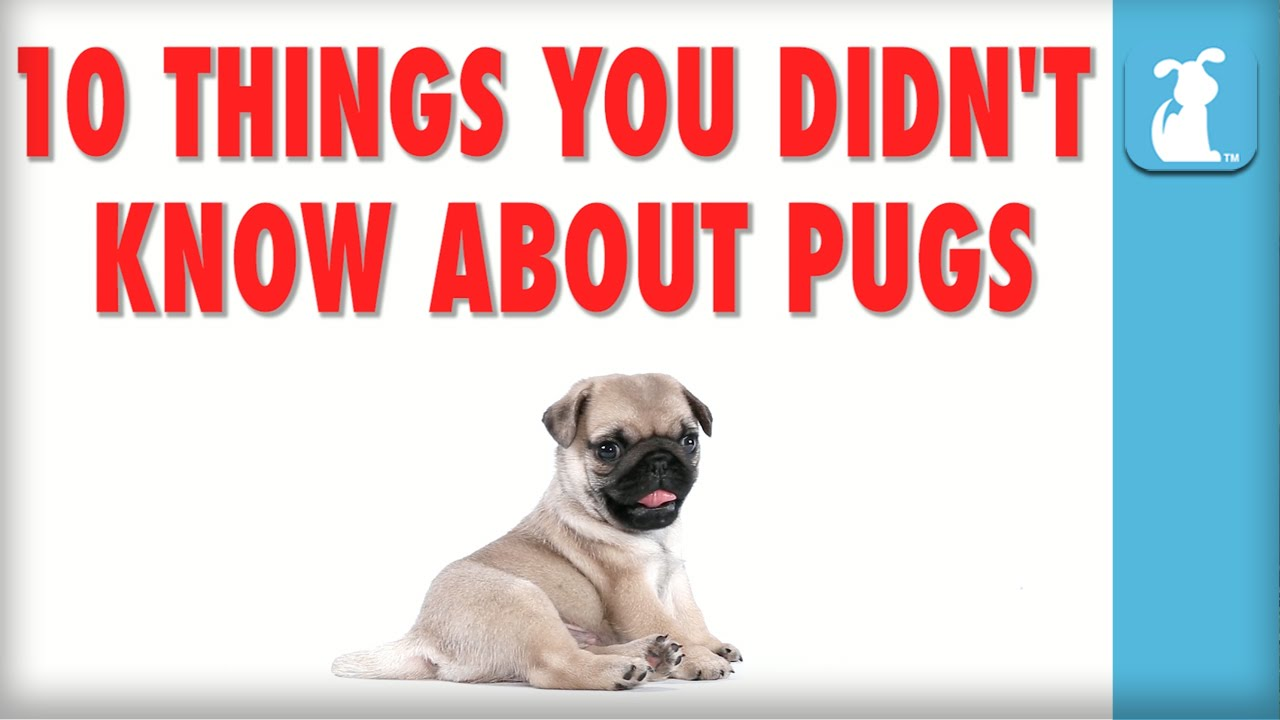 10 things you didn 39 t know about pugs puppy love