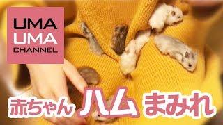 【 うまうまチャンネル 】 友人宅の長毛ハムスター、トトちゃんに 子供...