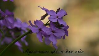 Ароматные цветы для сада и цветника!(В видеоканале представлены фильмы по тематике - окружающая среда, сад - огород, с моими наработками, а также..., 2015-07-28T20:31:24.000Z)