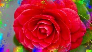 БОЖЕСТВЕННО КРАСИВЫЕ  РОЗЫ И МУЗЫКА ДЛЯ ВАС(БОЖЕСТВЕННО КРАСИВЫЕ РОЗЫ И МУЗЫКА ДЛЯ ВАС Поздравления на все случаи жизни! https://www.youtube.com/user/tatiana10803 Поздра..., 2016-08-21T10:02:54.000Z)