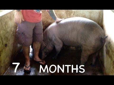 Greedy Pigs - September 2014 - Sows rapid growth - Leyte - Philippine daily life
