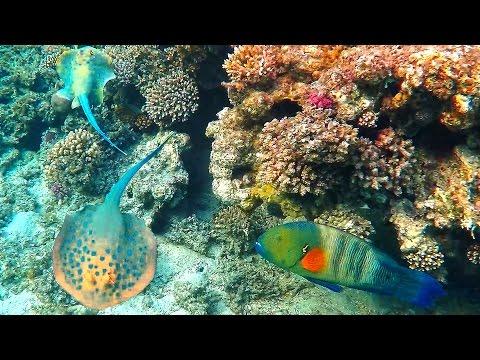 Red sea coral reef fish Stingray & Wrasse 4K Egypt snorkeling & diving. Hurghada reef.
