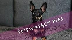 Śpiewający pies- singing dog PUPPY RATLER RATLEREK MIN PIN pinscher #001