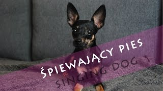 Śpiewający Pies- Singing Dog Puppy Ratler Ratlerek Min Pin Pinscher