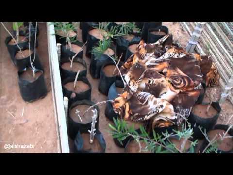 مشتل نباتات سقطرى النادرة Nursery plants Socotra